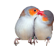 Orange Cheek Waxbills